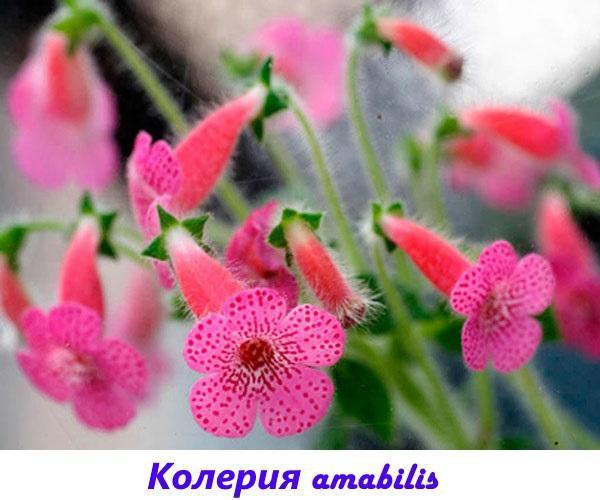 колерия amabilis