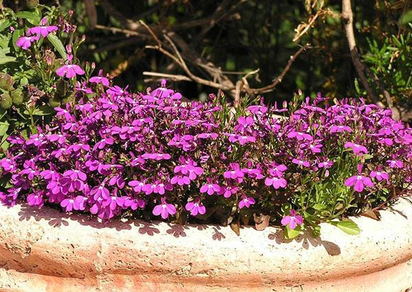 Лобелия карликовая пурпурная