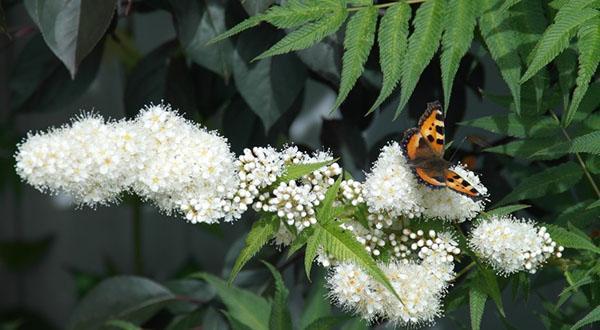 цветет рябинник
