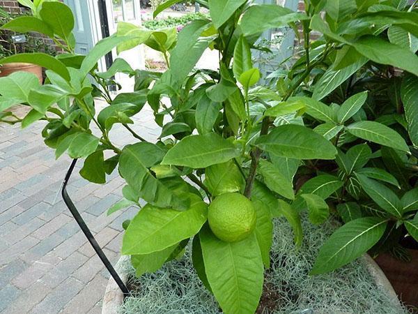 выращивание бергамота в домашних условиях