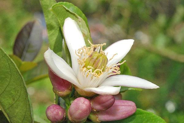 цветение бергамота
