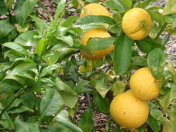 апельсин-бергамот