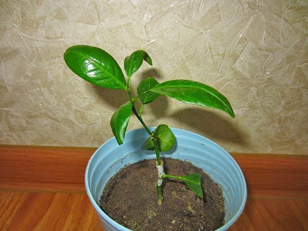 выращивание бергамота