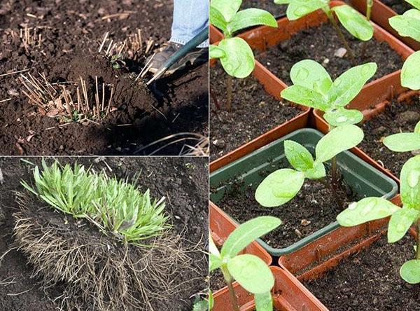 выращивание гелениума в открытом грунте