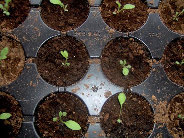 всходы семян гелениума
