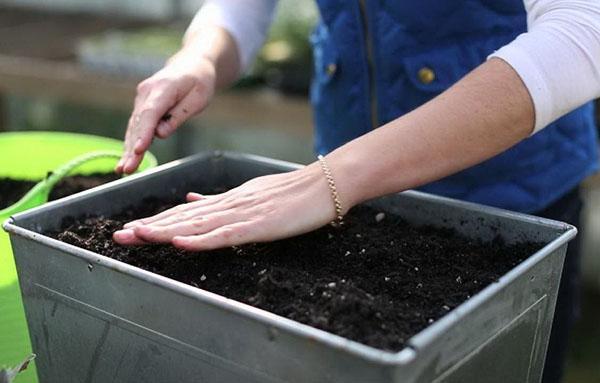 посев семян гелениума