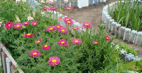 выращивание пиретрума