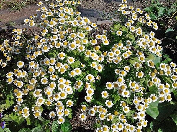 цветение пиретрума