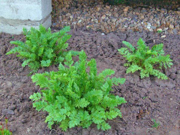 успешное выращивание пиретрума