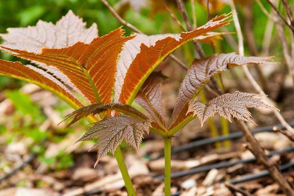 листья роджерсии красного оттенка