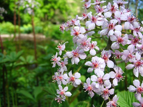 нежнорозовые цветы роджерсии