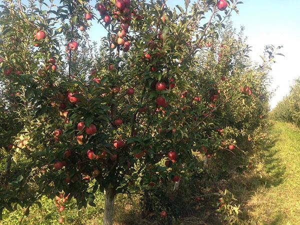 плодоносит яблоня сорта Глостер