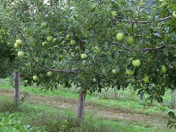 яблоня Семеренко в саду