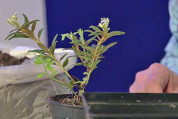выращивание багульника из черенка