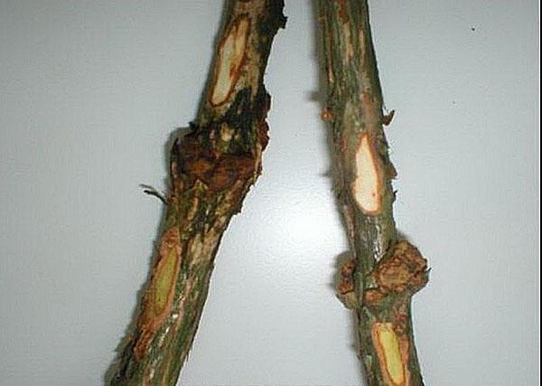 рак стебля голубики