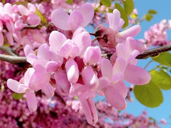 цветет багряник