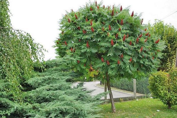 дерево сумах посадка и уход