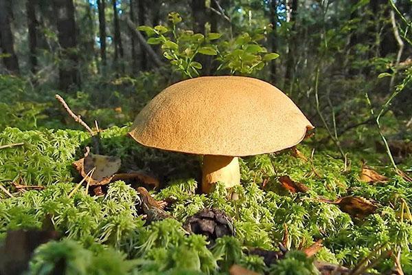 грибы из рода Болетовых