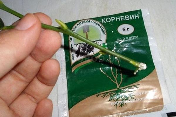 укоренение черенка розы
