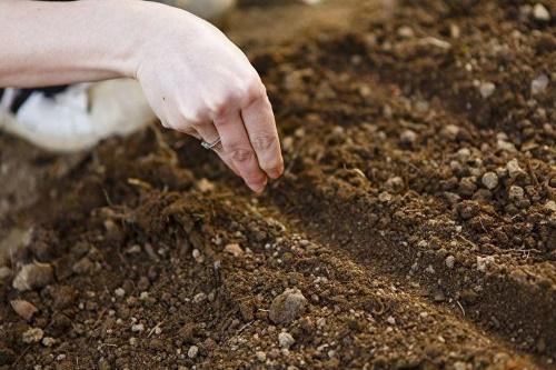 посев алиссума в открытый грунт
