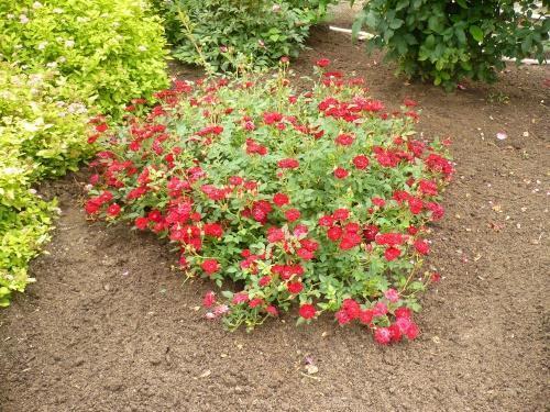 как укрыть на зиму почвопокровные розы