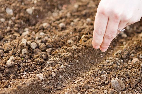 посев фенхеля в открытый грунт