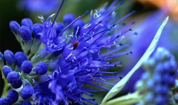 цветет кариоптерис
