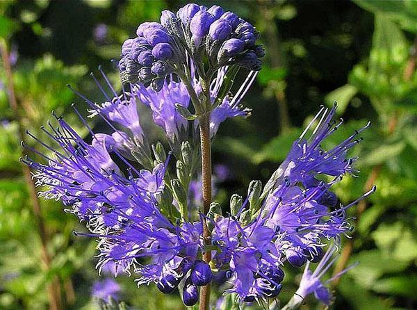 августовское цветение кариоптериса