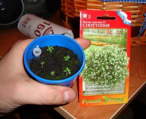 семена бакопы