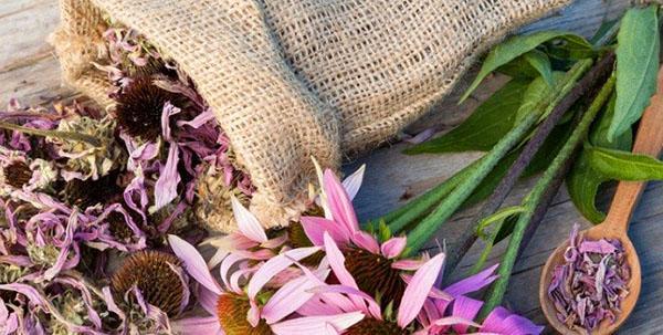 сушеные цветы эхинацеи