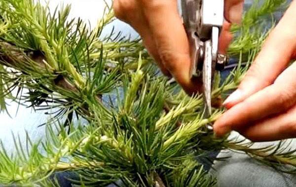 обрезка лиственницы