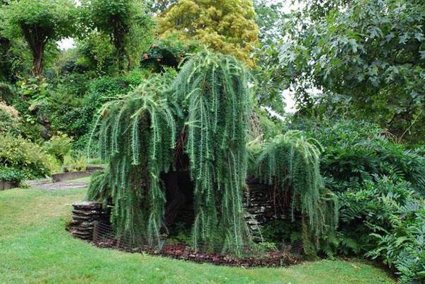шикарная лиственница в саду