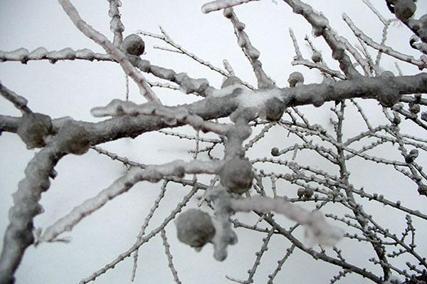 лиственница зимой