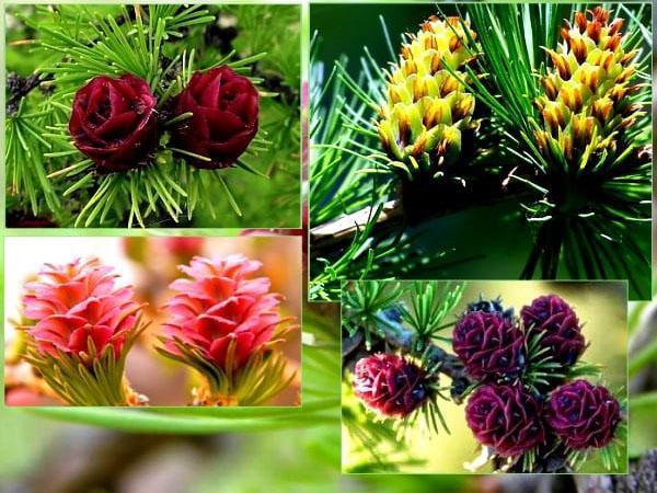 цветы лиственницы