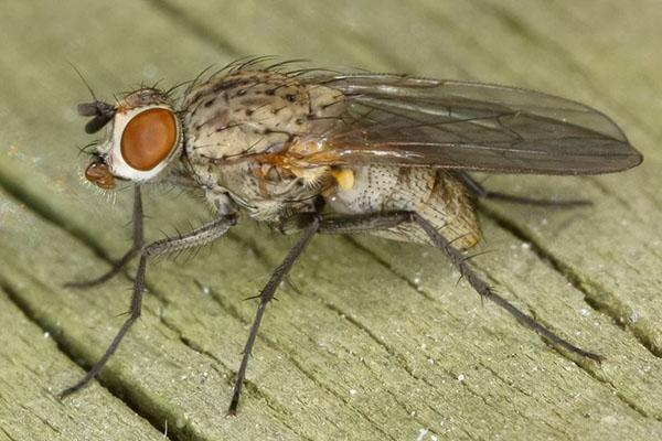 лучковая муха