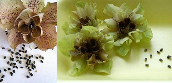 семена морозника