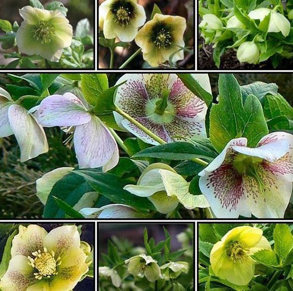 нежные цветы морозника