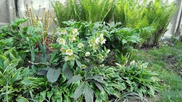 морозник в композиции с другими растениями