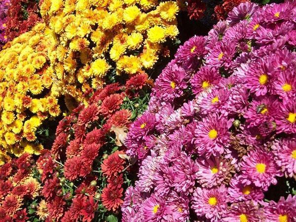 китайские и корейские хризантемы