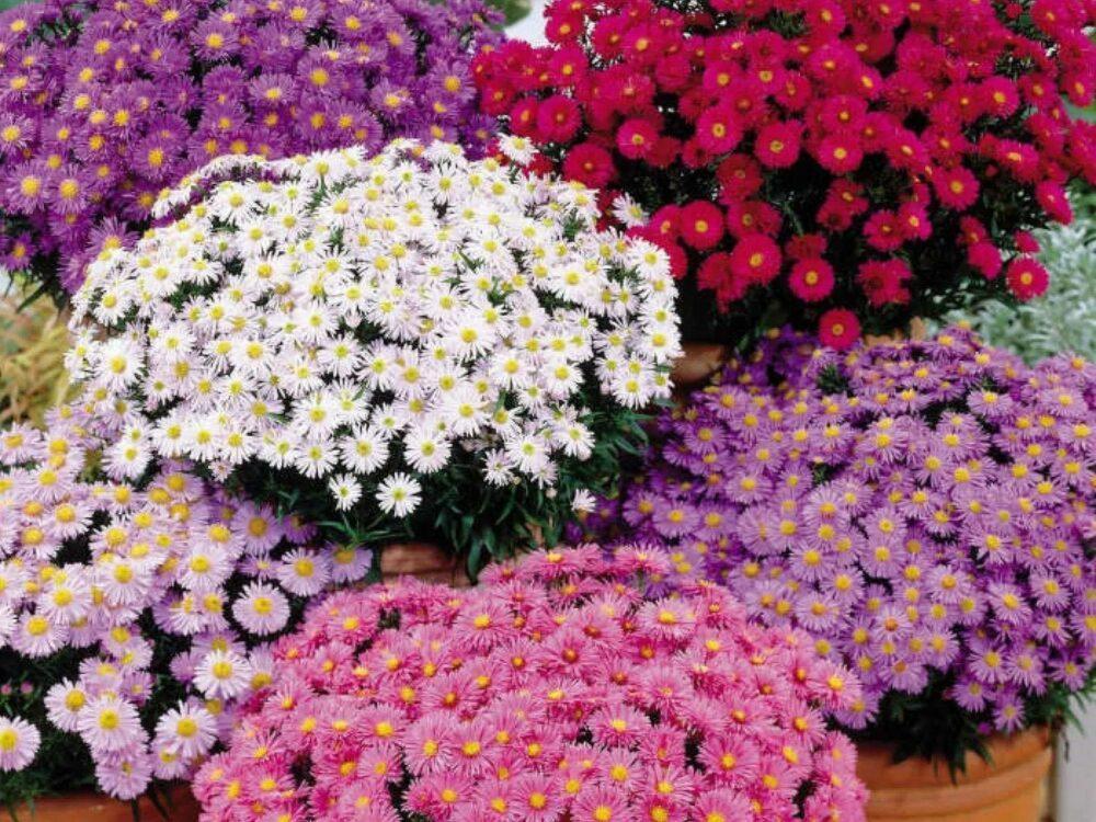 Этот цветок называют женским счастьем