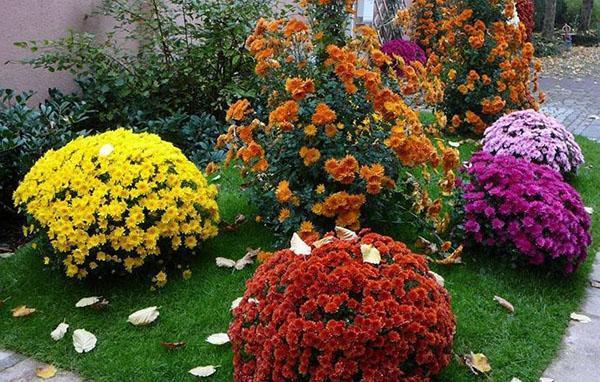 кустарниковые хризантемы
