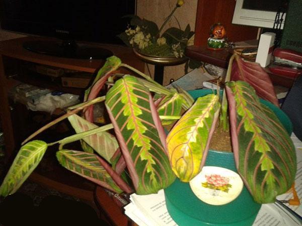 листья маранты желтеют и скручиваются