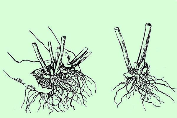 размножение делением корневой