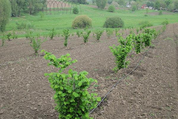 посадка и выращивание фундука