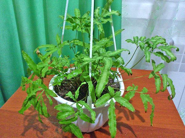 емкость для выращивания птериса
