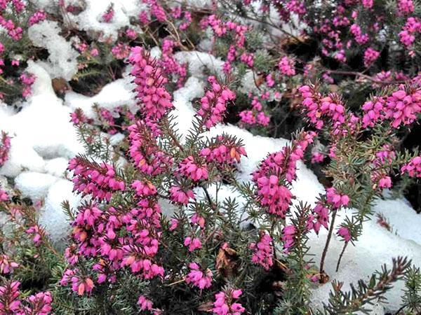 эрика под снегом