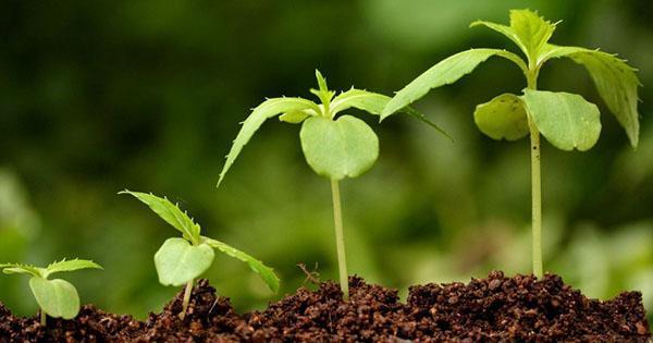 применяем регуляторы роста растений