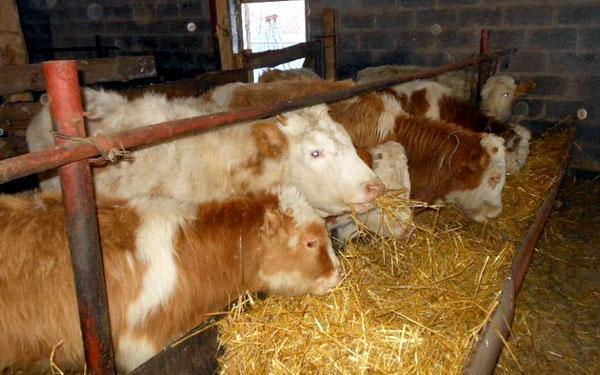 корм для откорма бычков
