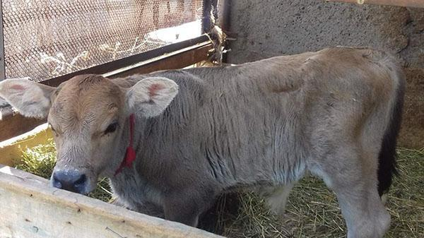 теленок 1 месяц