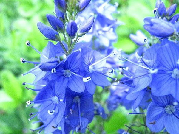 яркое цветение вероники